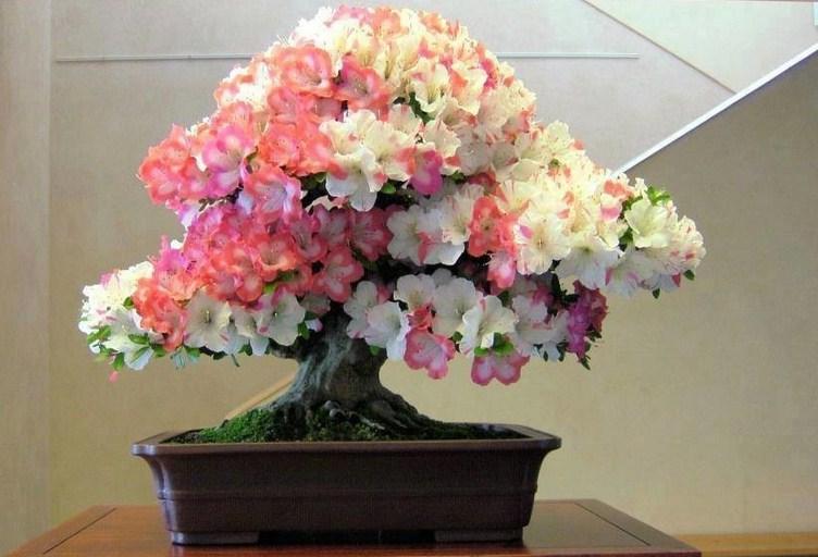 Комнатный цветок азалия уход в домашних условиях