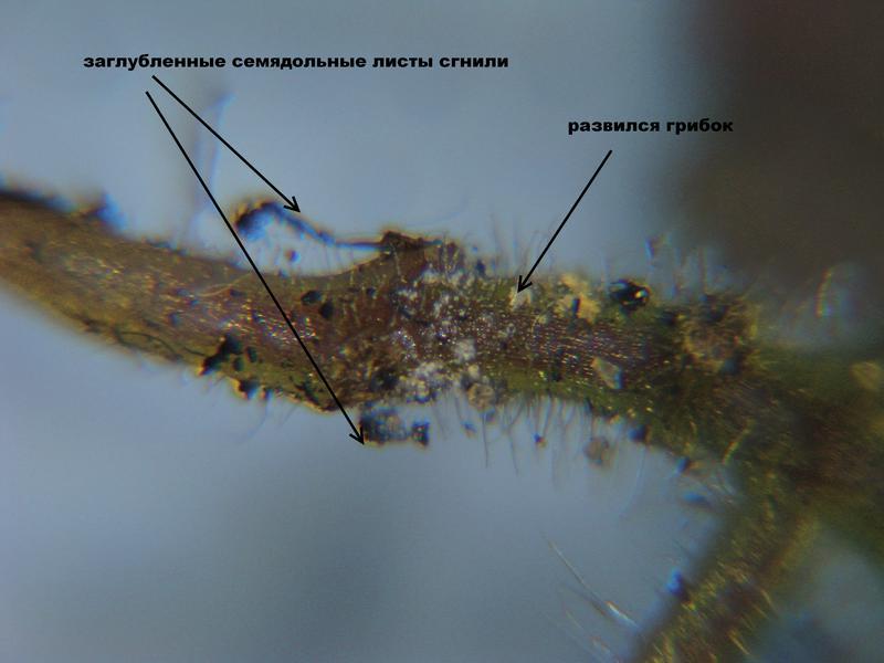 Глоксиния грибки