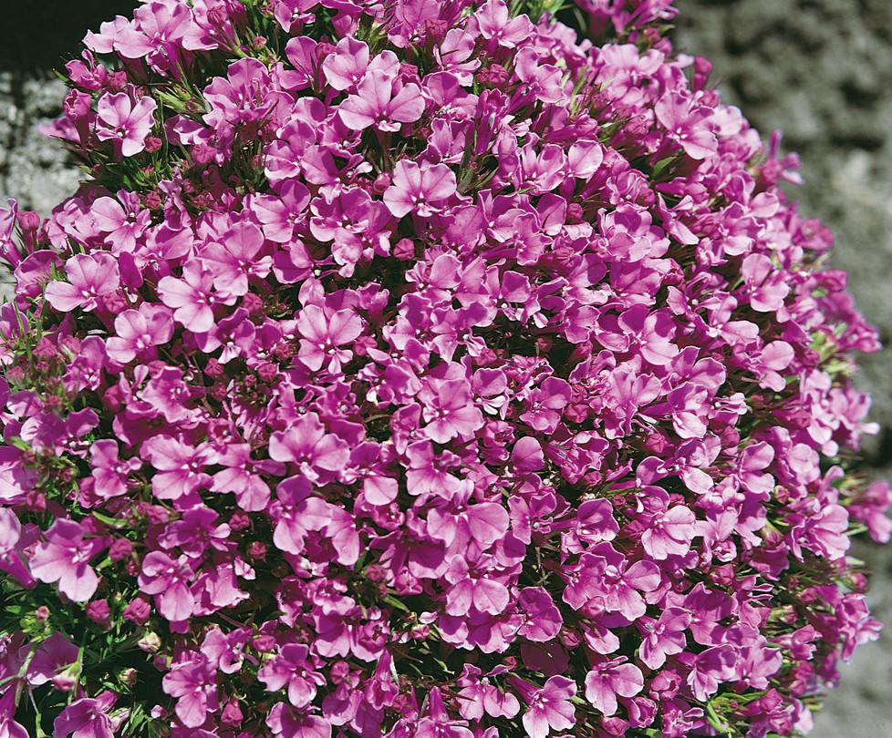 Лобелия Ривера розовая