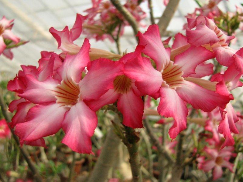 Сомалийская роза пустыни