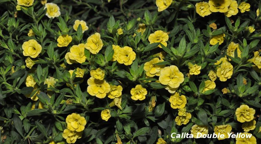 Желтые калита