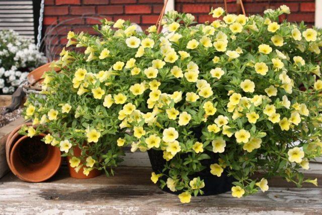 калибрахоа фото цветов в саду