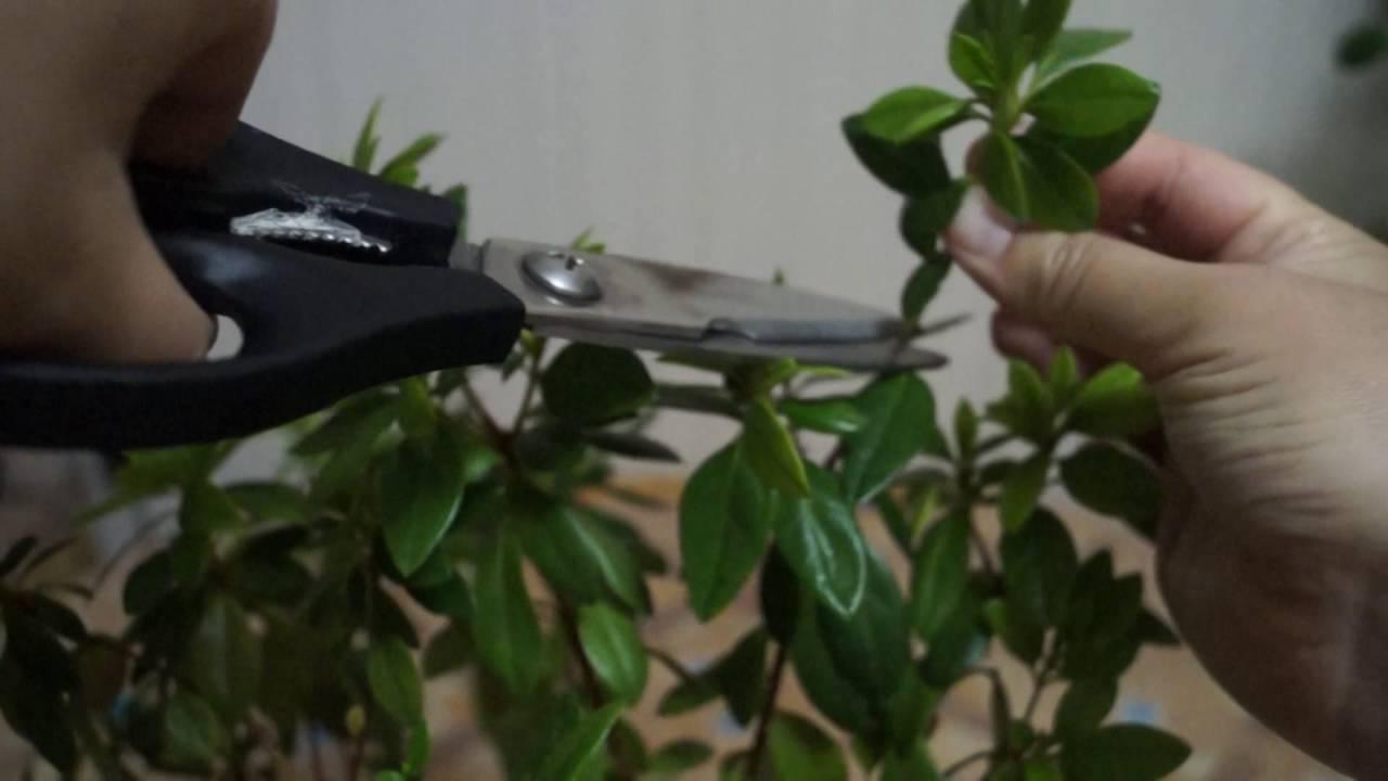 обрезка после цветения азалия