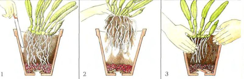 пересадка при цветении фаленопсиса