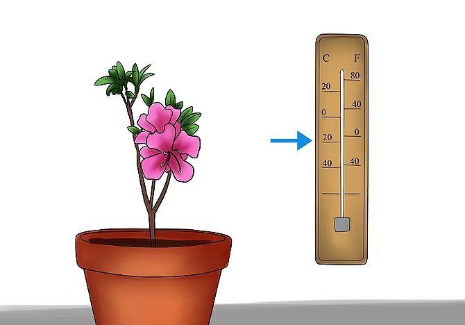 температура азалии