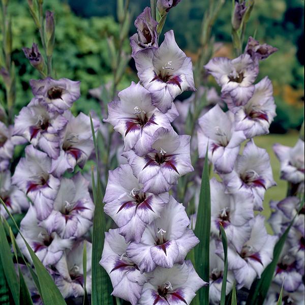 Gladiolus Vera Lynn
