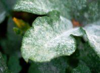 Мучнистая роса на комнатных растениях фото
