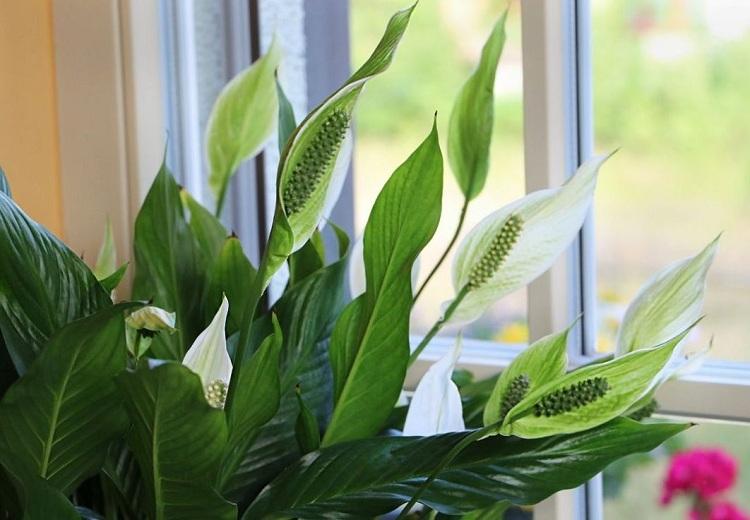 Комнатные растения спатифиллум и плющ