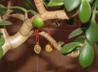 Уход за денежным деревом
