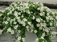 бакопа выращивание из семян фото