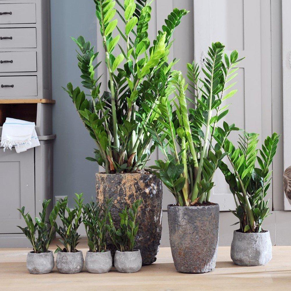 хотя натуральной неприхотливые домашние растения фото и названия мороз взмахнет посохом