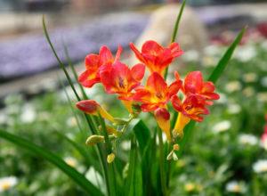 фрезия садовая посадка и уход фото