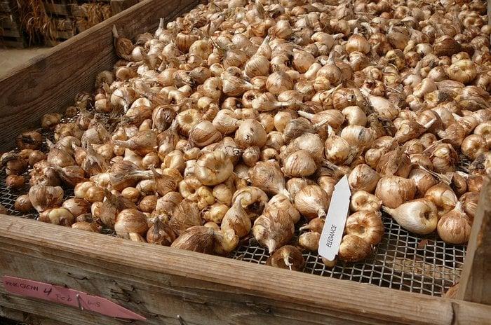 хранение луковицы зимой