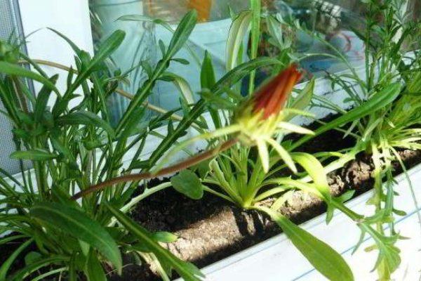 малое цветение