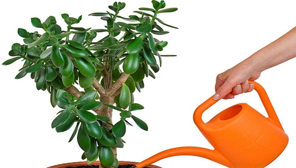 полив денежнего дерева