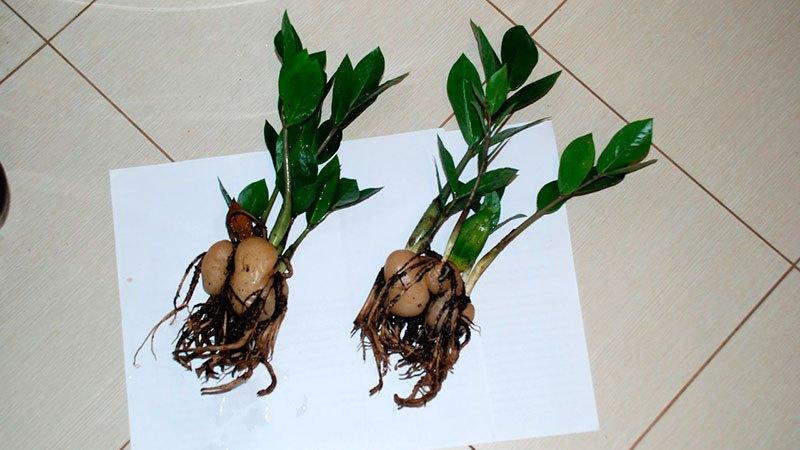 размножение клубнем денежнего дерева
