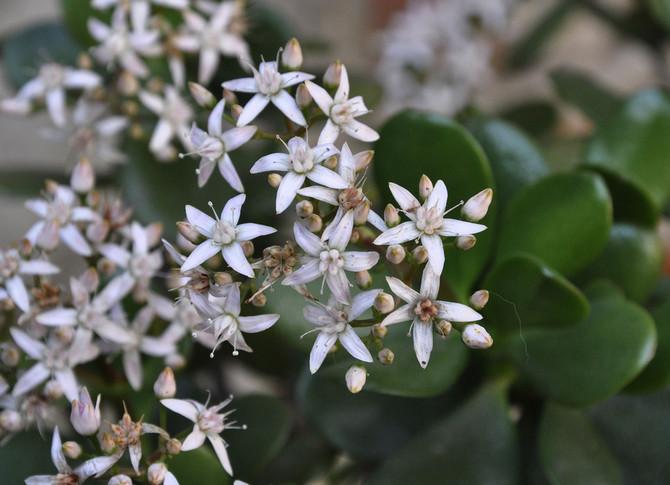цветы денежнего дерева