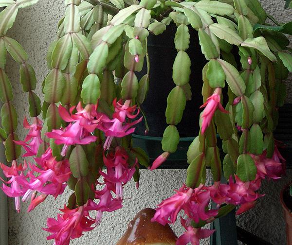 вялые листья декабрист