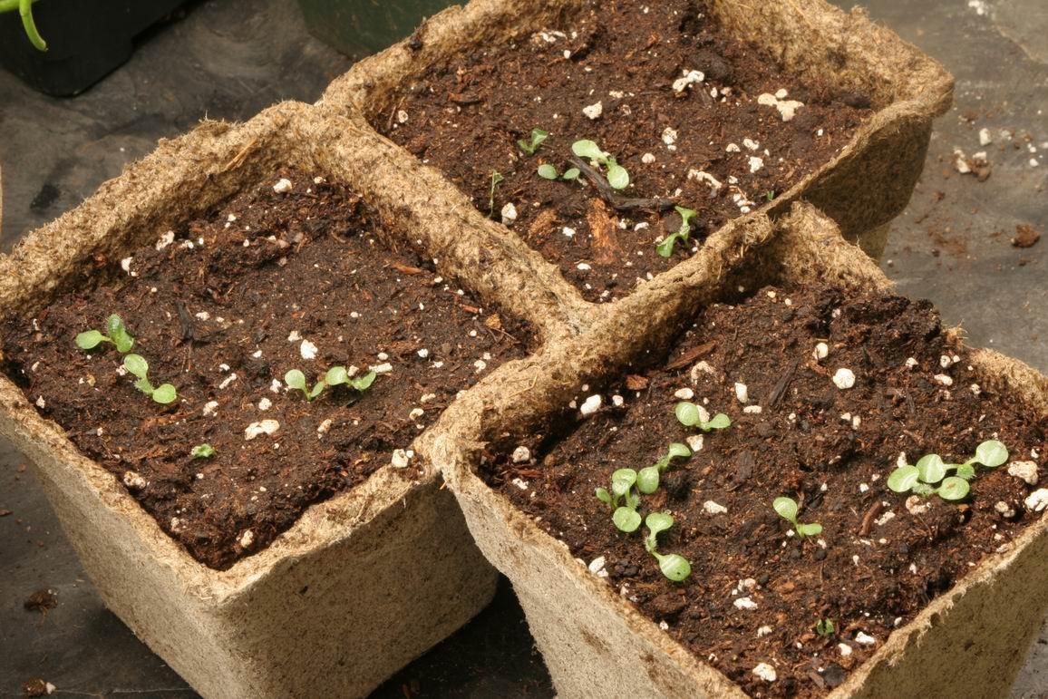 выращивание из семян рудбекия
