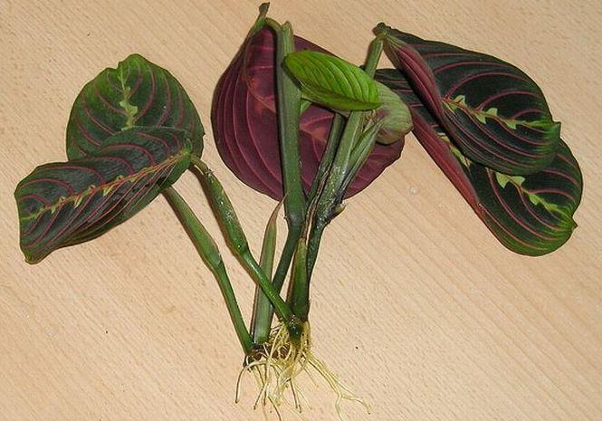 Размножение калатеи листом или черенками