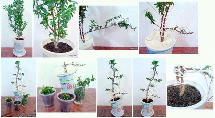 Как сформировать крону дерева в домашних условиях 357